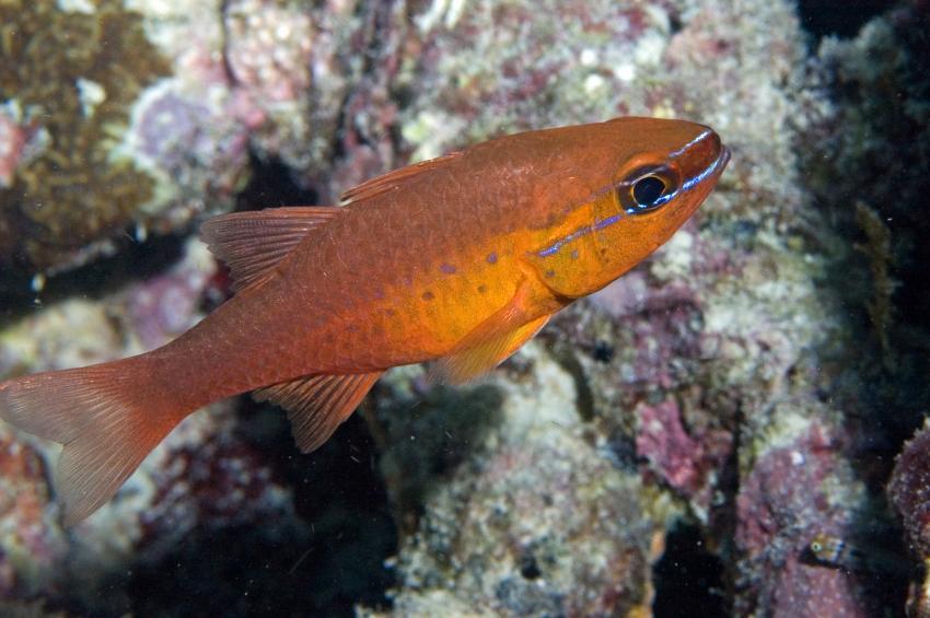 Lhaviyani Atoll Komandoo, Lhaviyani Atoll Komandoo,Malediven,Goldbauch-Kardínalfisch,Apogon apogonides