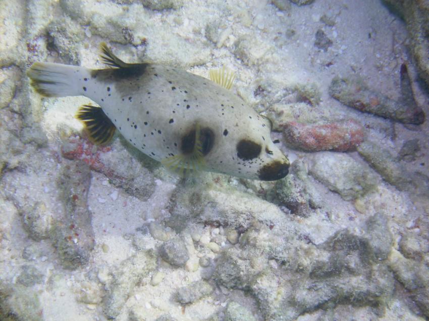 Helengeli, Helengeli,Malediven,Weißflecken,Kugelfisch