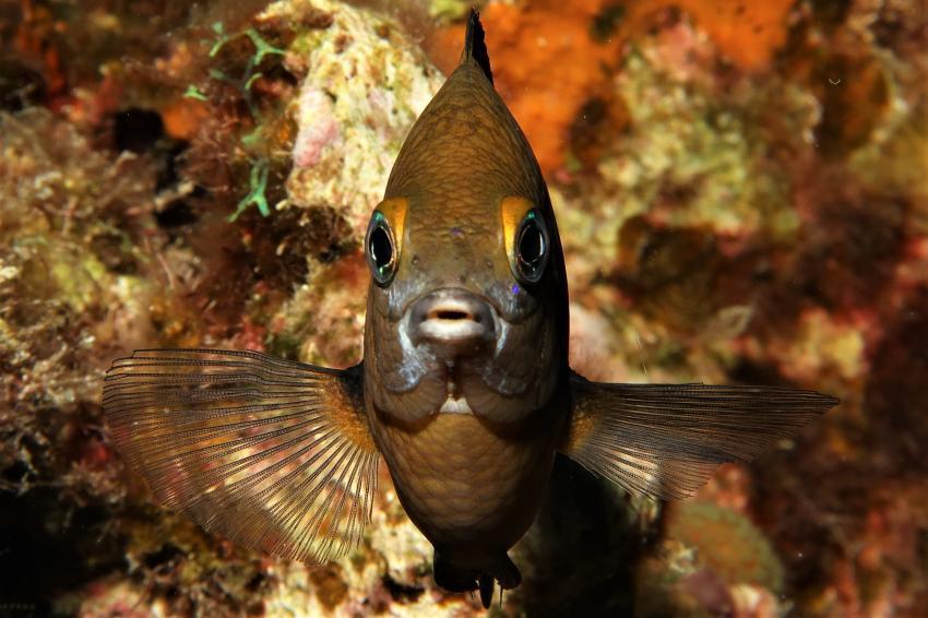 Damsel, Villa Mango Curacao Dive Center, Willemstad, Niederländische Antillen, Curaçao