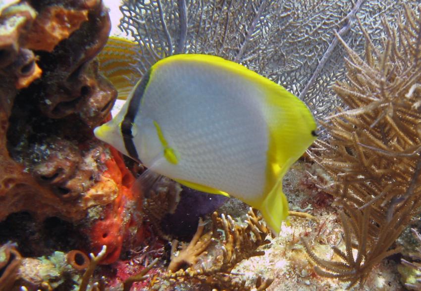 rund um Key Largo, Key Largo,Florida,USA,Flossenfleck-Falterfisch
