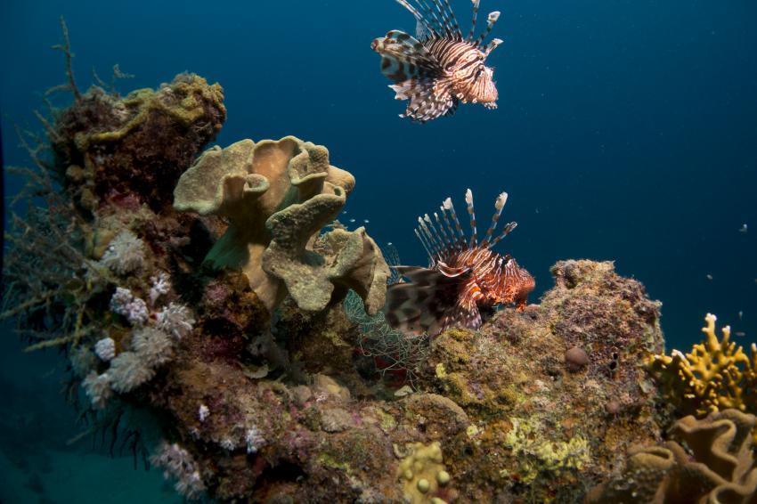 Rotfeuerfische