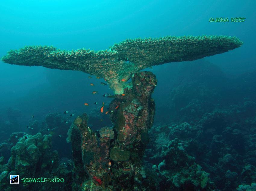 Gurna Reef, Seawolf  Sudan Safari, Gurna Reef, Nordsudan, Sudan