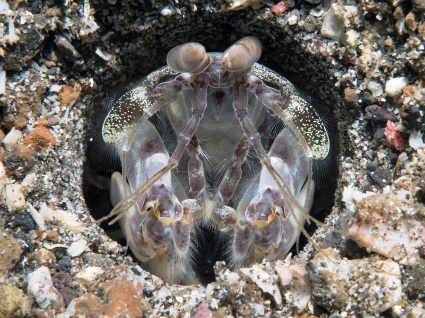 Lembeh, Lembeh,Indonesien,Fangschreckenkrebs