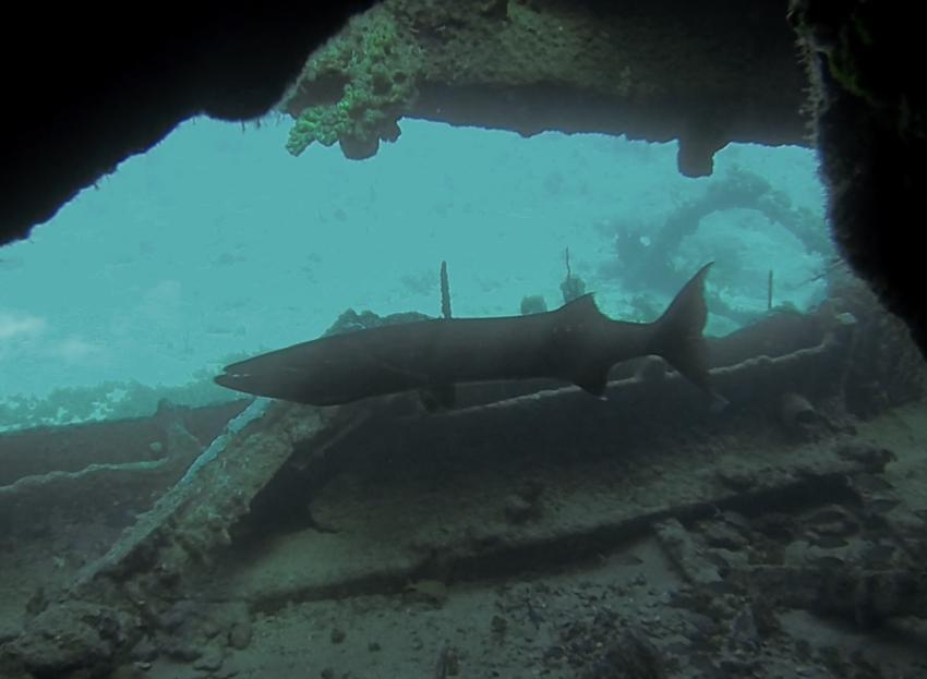 Der Barracuda, RMS Rhone Nationalpark, Salt Island, Britische Jungferninseln
