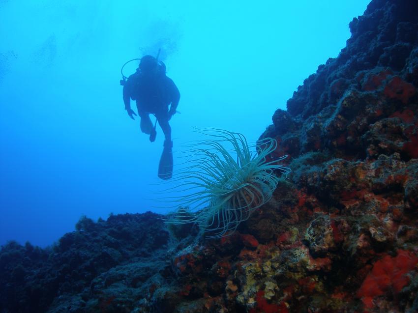 Lanzarote P & P Diving Playa Blanca, Lanzarote,Spanien,Taucher,Koralle,Riff