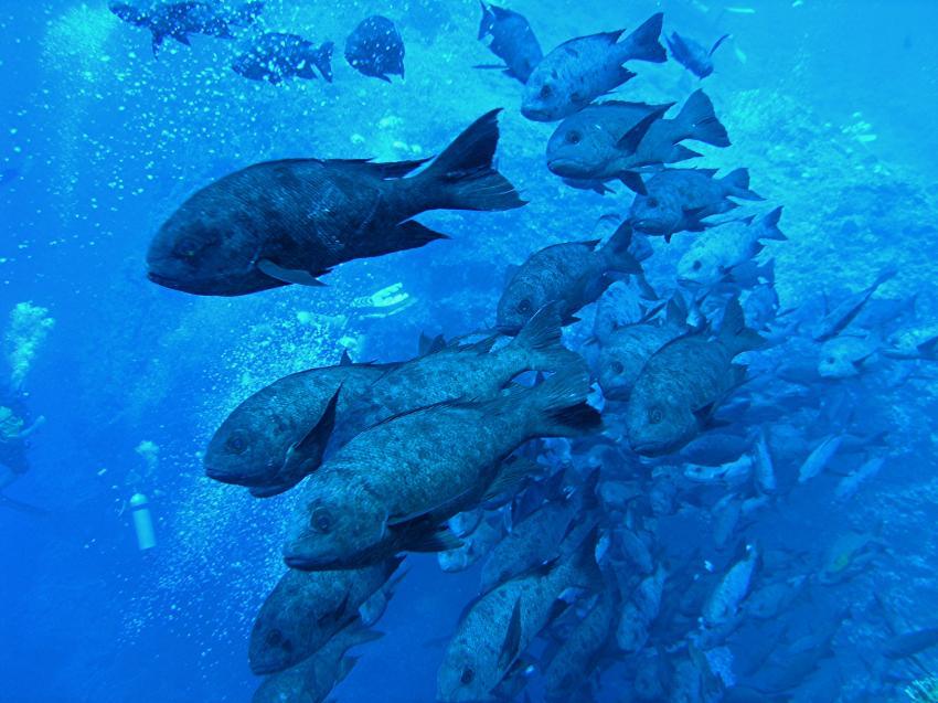 Blue Hole und New Drop Off, Blue Hole und New Drop Off,Palau,schwarm,strassenkehrer,hässlich,dicht