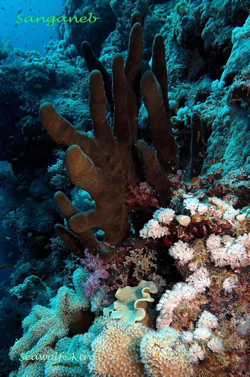 Sanganeb Südwest Plateau, Sudan Seawolf Diving Safari Sanganeb Leuchturm Dominator Reef Plateau, Sanganeb SüdwestPlateau, Sudan