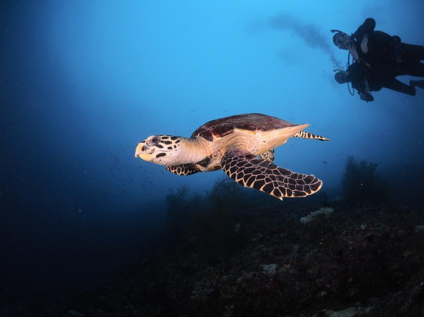 Meeresschildkröte, Schildkröte, Euro-Divers Meeru, Malediven