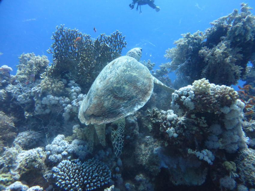 Schildkröte, Extra Divers - Equinox, Marsa Alam, Ägypten, Marsa Alam und südlich