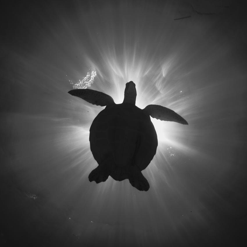 Schildkröte, Oasis Explorers, Indonesien, Sulawesi