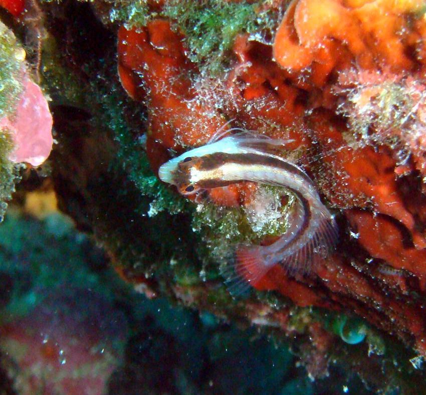 Cala Joncols, Cala Joncols,Spanien,Streifenschlemfisch,Schleimfisch,Grundel