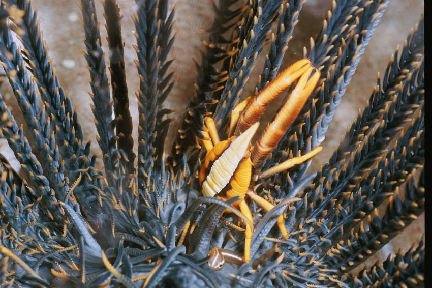 Fotoausstellung Grandeblu Indonesien, Indonesien allgemein,Indonesien,krabbe,seestern,makro