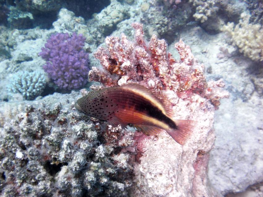 Ras Disha, Ras Disha,Hurghada,Ägypten,Korallenwächter
