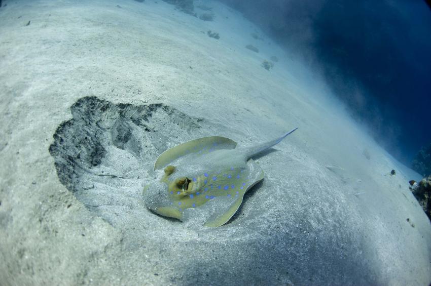 Jackson Reef, Locals Sharm el Sheick,Ägypten,Blaupunktstechrochen,Fisheyefotografie,Dasyatididae