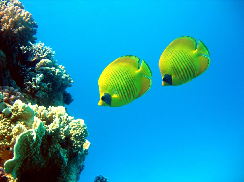 Tauchplatz: Ras Disha, Ras Disha,Hurghada,Ägypten,Falterfische