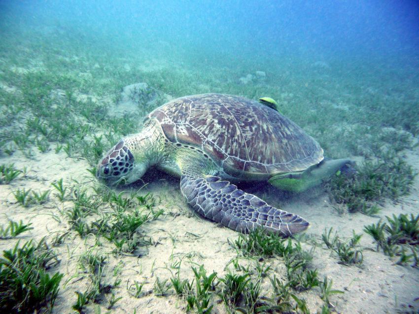 Schildkröte beim Seegrasen
