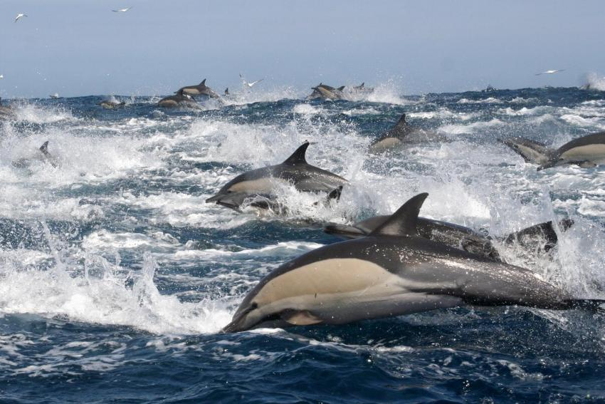 Common Dolphins - stundenlang - mittendrin, Dive Expert-Tours ,   Südafrika, Südafrika