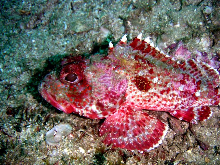 Acapulco, Acapulco,Mexiko,rot,Giftfisch