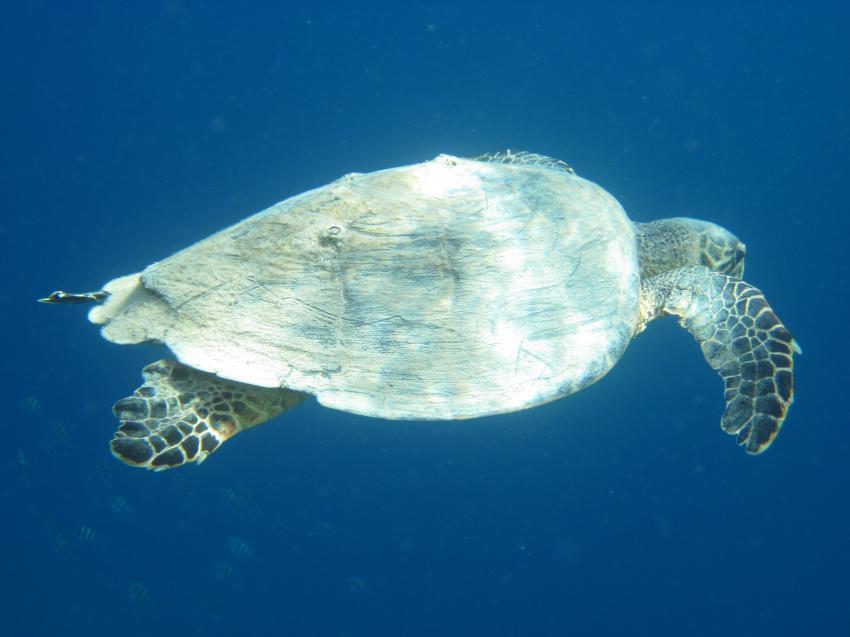 Schnorcheln Juni 2010, Coraya Bay,Ägypten,Meeresschildkröte,Cheloniidae