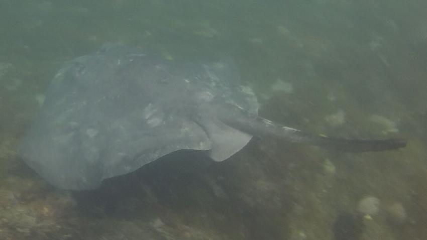 Smooth Stingray, Portsea Pier, Australien
