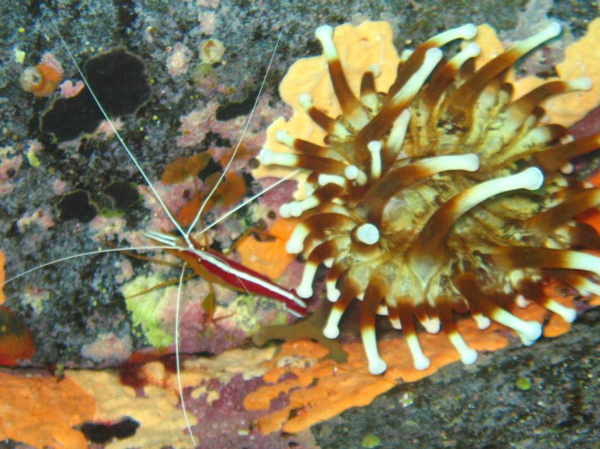 Garnele und Blasenanemone, Madeira, Garnele, Azul Diving Madeira, Portugal