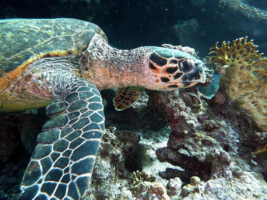 aller Anfang ist schwer, Annette & Robby RedSea-Divers,Hurghada,Ägypten,Schildkröte,Meeresschildkröte