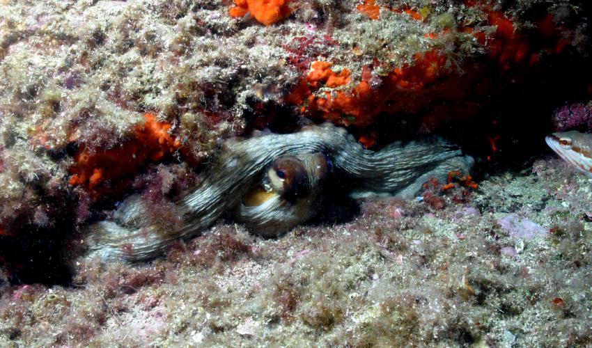 Cala Joncols, Cala Joncols,Spanien,Krake,Oktopus,versteckt