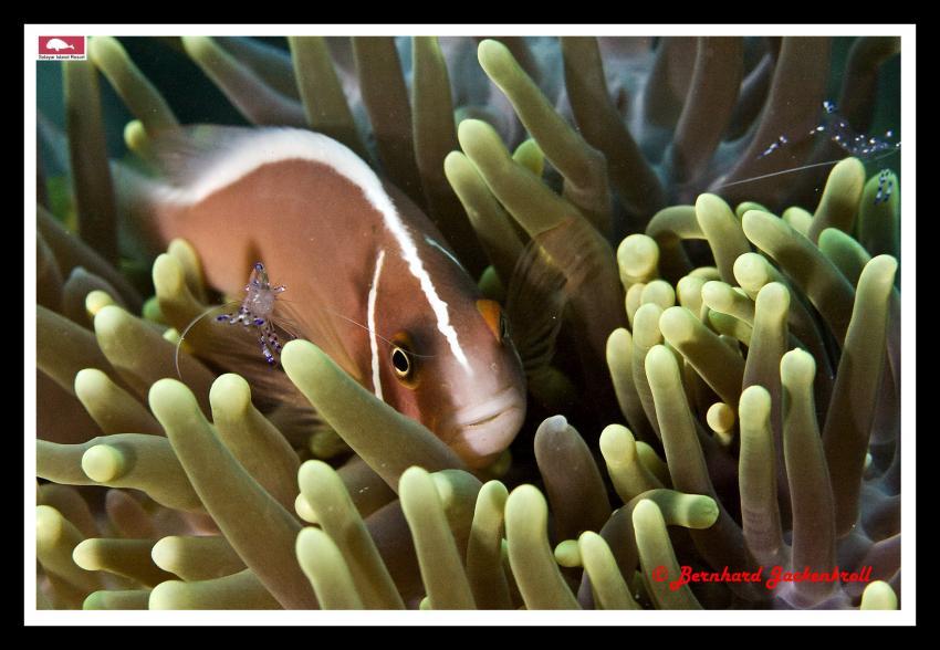 Weissrücken-Anemonenfisch