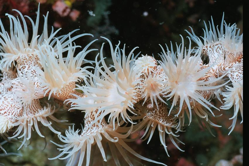 Fotoausstellung Grandeblu Indonesien, Indonesien allgemein,Indonesien,polypen,tentakel