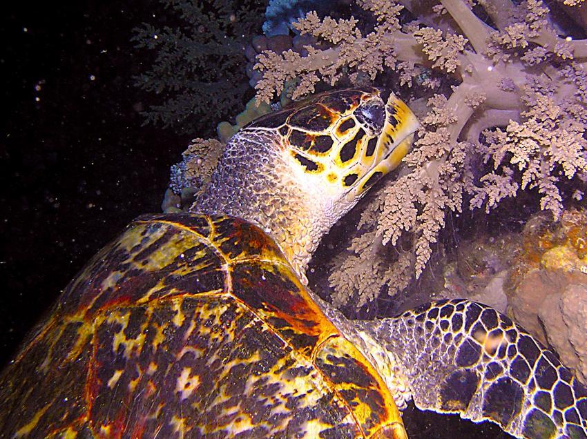 Tauchsafari Süd Tour, Safari Südtour,Ägypten,Safari Süd Tour,Meeresschildkröten,Cheloniidae,fressend,Koralle