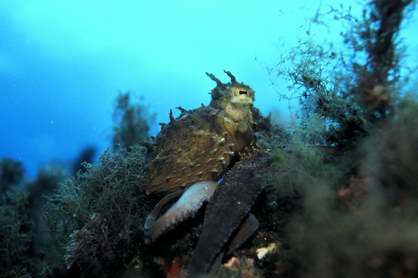 Mallorca Dragonera, Mallorca,Dragonera,Spanien,Octopus,tarnung,moostierchen,auge,sepia,tintenfisch