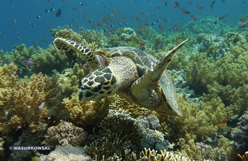 Meeresschildkröte überm Riff