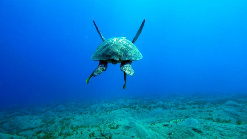 Grüne Schildkröte, Grüne Schildkröte, Abu Dabab, diving.DE Flamenco, Ägypten, El Quseir bis Port Ghalib