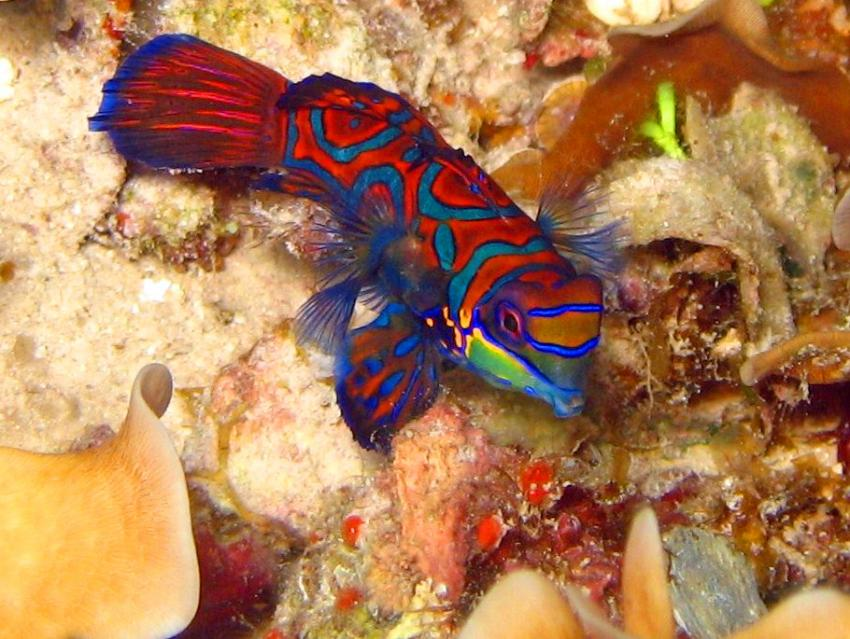 Pulau(= Insel) Sahaung (Bangka Archipel), Pulau Sahaung,Indonesien,Mandarin-Leierfisch (Synchiropus splendidus)