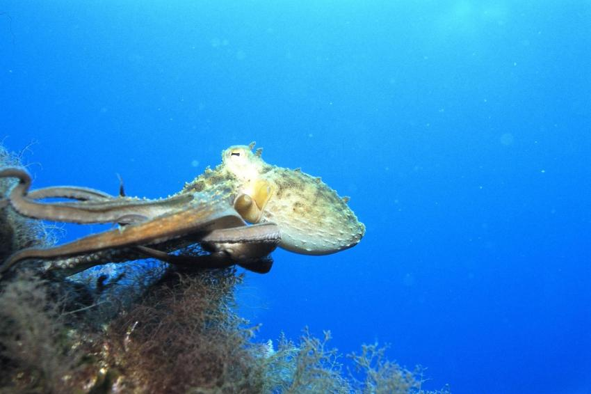 Mallorca Dragonera, Mallorca,Dragonera,Spanien,Octopus,sepia,tintenfisch,flüchtend,Flucht