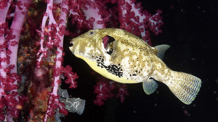 Lippfisch, M/V Putri Papua, Indonesien
