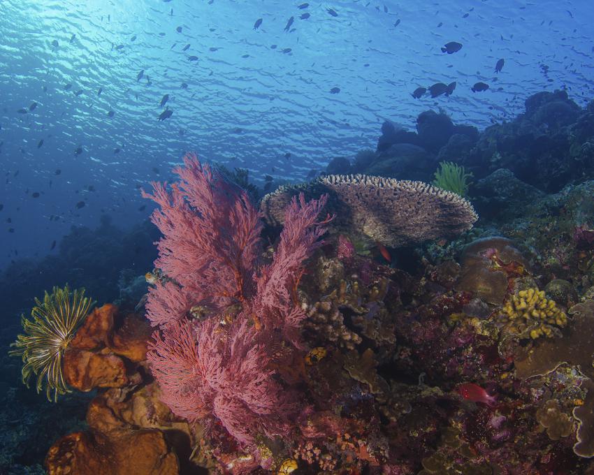 Riff, Korallen, Oasis Explorers, Indonesien, Sulawesi
