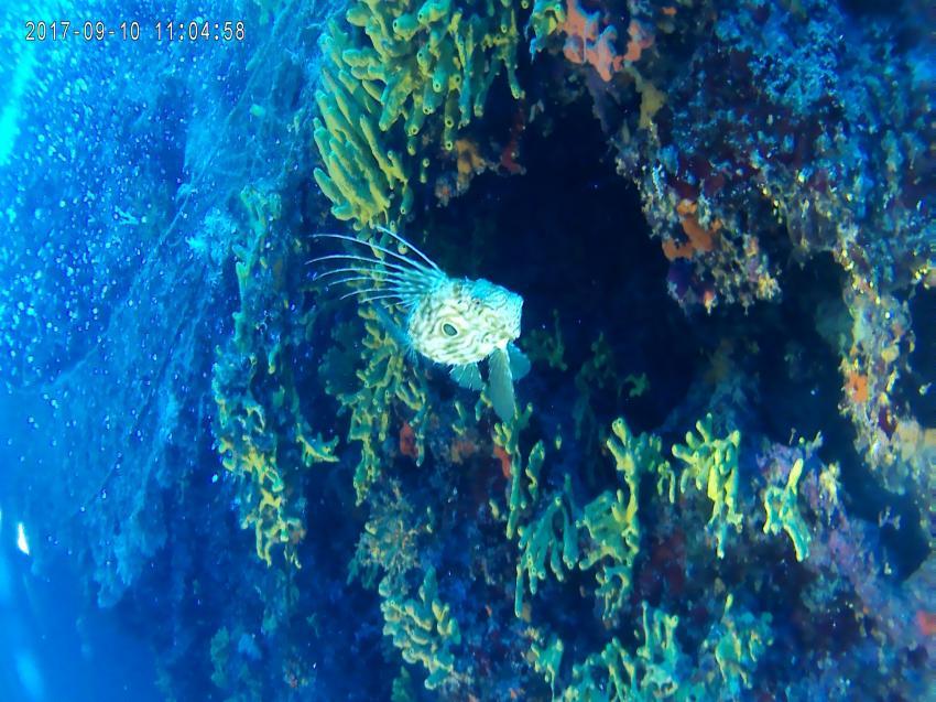 Petersfisch, Diving Center Dolphin, Bol, Insel Brac, Kroatien