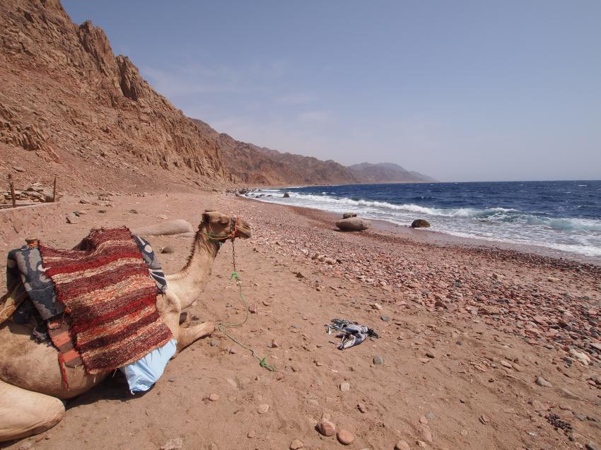 Kamel liegt an der Küste vor Ras Abu Galum