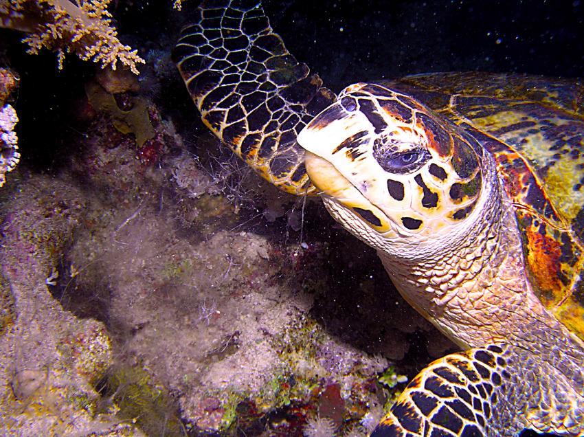 Tauchsafari Süd Tour, Safari Südtour,Ägypten,Safari Süd Tour,Meeresschildkröte