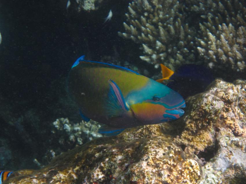 Schnorcheln Juni 2010, Coraya Bay,Ägypten,Papageienfisch,Lippfisch