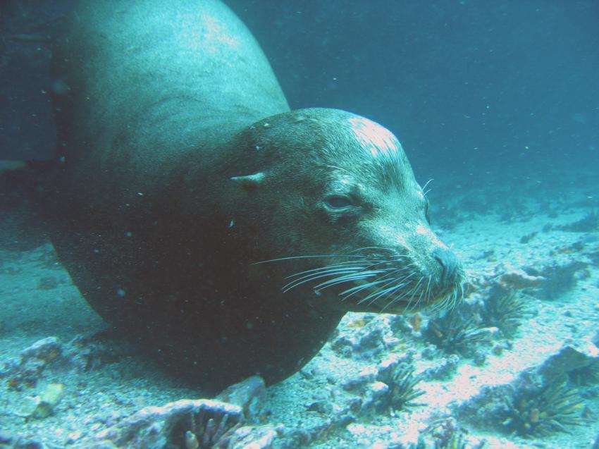Galapagos, Galapagos Allgemein,Galapagos,Ecuador,robbe,Seelöwe