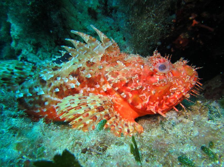 Scorpionfisch, Starfish Diving Cala Millor, Mallorca, Spanien, Balearen