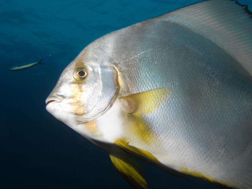 Wrack der Ghiannis D., Wrack der Ghiannis D.,Ägypten,Spatenfisch,Fledermausfisch