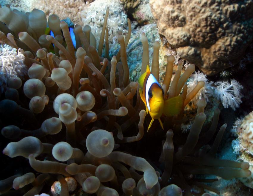 Nordtour, Thistlegorm bis Tiranriffe, Strasse von Tiran,Ägypten,Anemonenfische,orange,Anemone