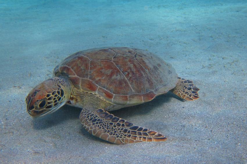 Schildkröte, All West Apartments & Diving, Niederländische Antillen, Curaçao
