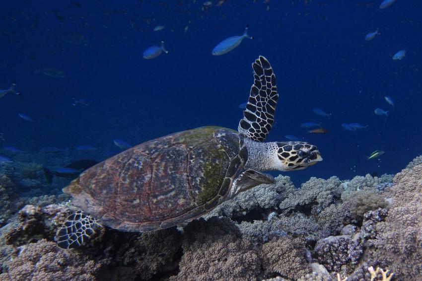 Karettschildschröte überm Riff