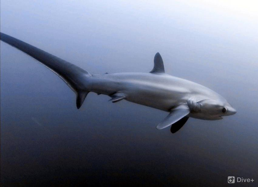 Fuchshai (Thresher Shark)