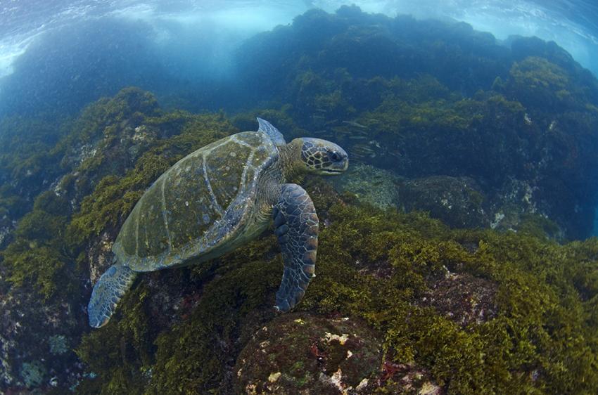 "Grüne Meeresschildkröte auf ""Fress""-Tauchgang :), Galapagos, Tauchen, Tauchsafari, Grüne Meeresschildkröte, Galapagos Shark Diving, Ecuador"