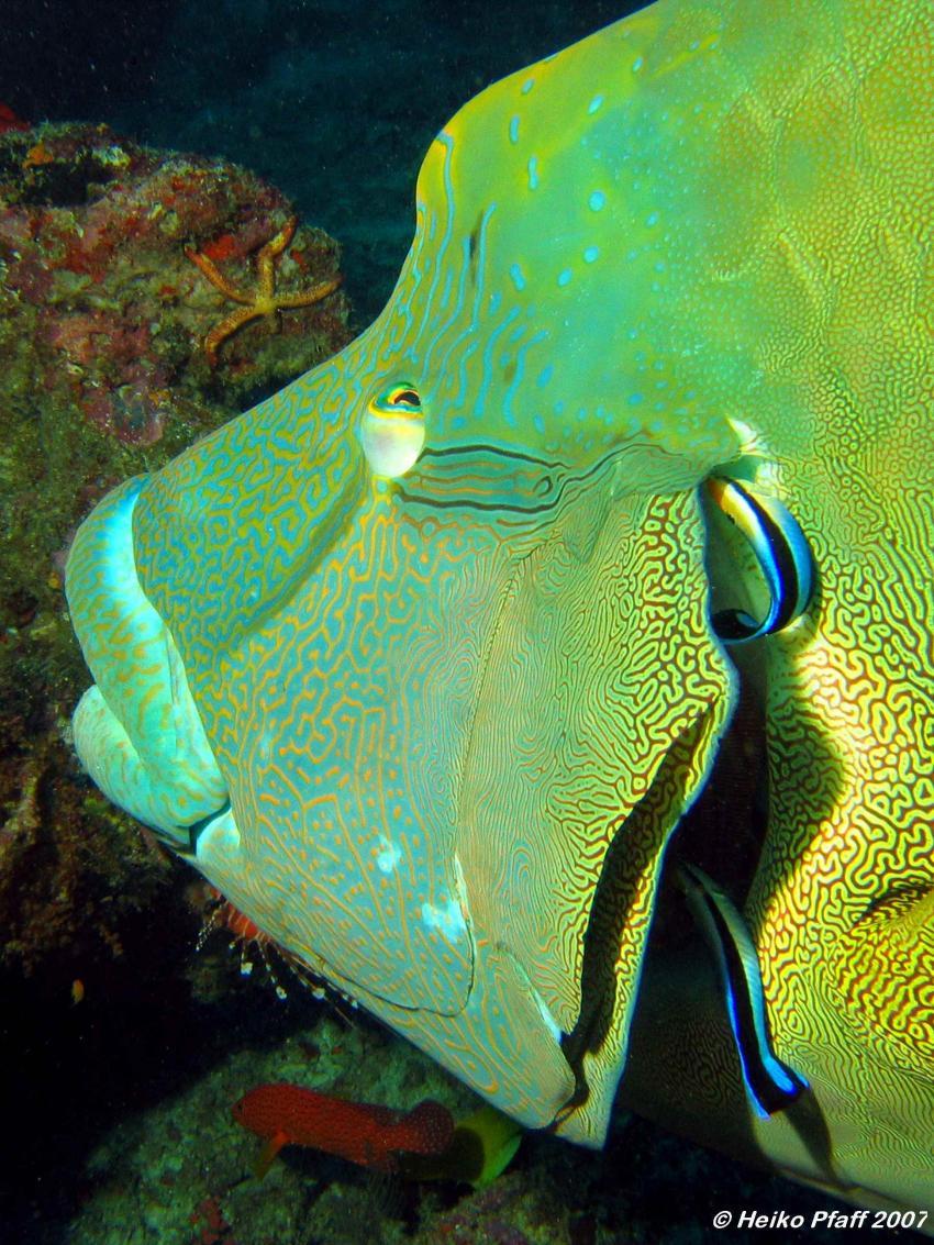 Fishead, Ari Atoll mit MY Hammerhead 2, Fishead,Ari Atoll,Malediven,Napoleon,Putzerfische,Putzerstation,Kiemen